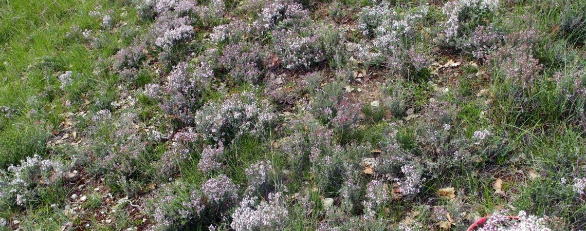 Touffes de thym en fleur