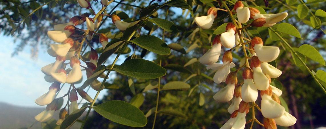 Boutons de fleurs de robinier (faux acacia)