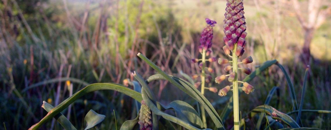 Muscari à toupet en fleurs