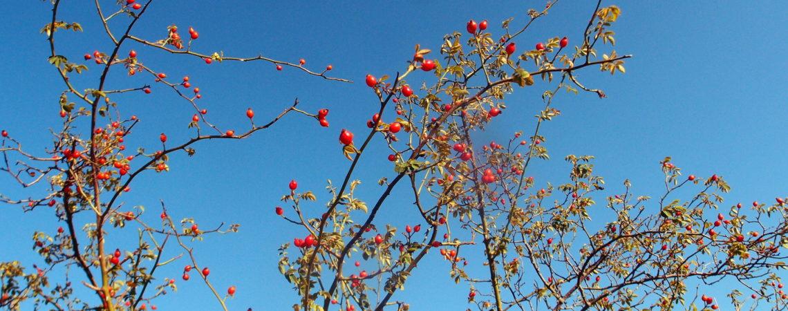 Églantier portant ses fruits : les cynorhodons
