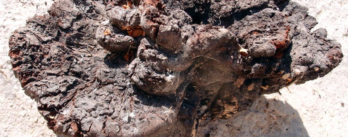 Polypore des teinturiers - Phaeolus Schweinitzii