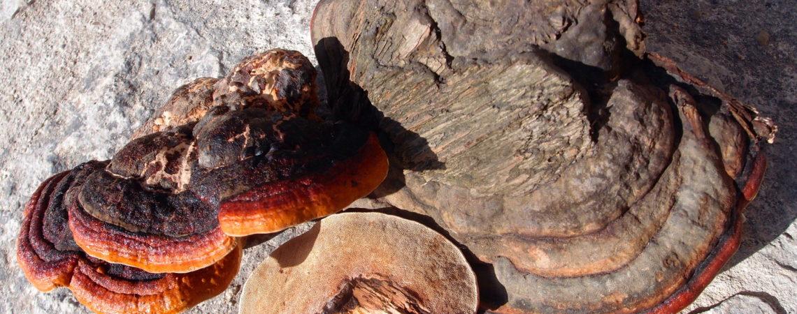 Polypore marginé - Fomitopsis pinicola