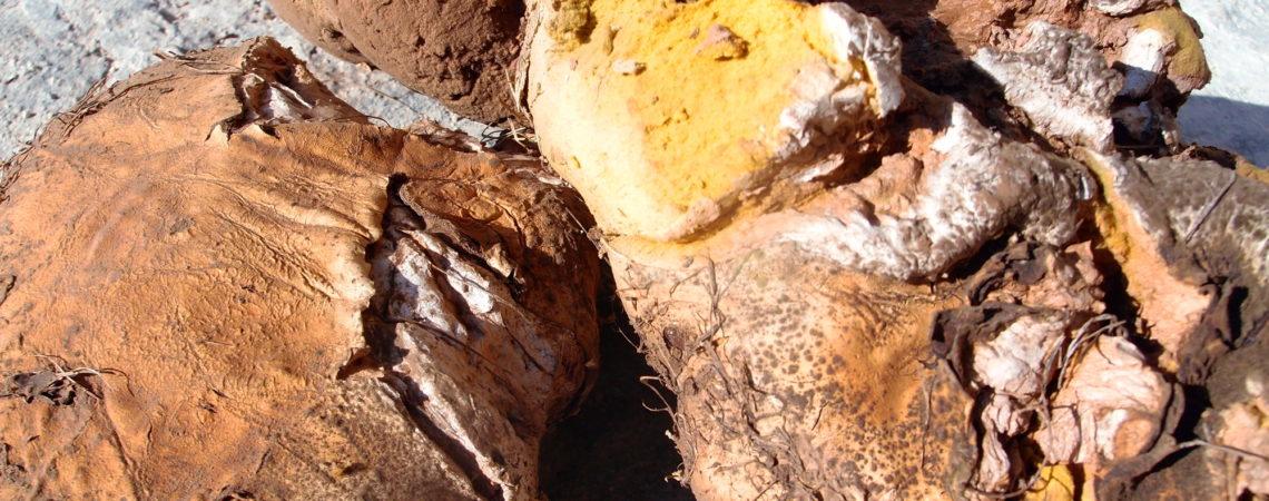 Vesses-de-loup géante - Calvatea gigantea