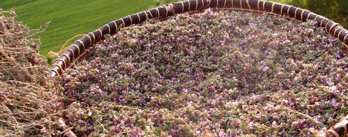Récolte de fleurs de thym fraîches