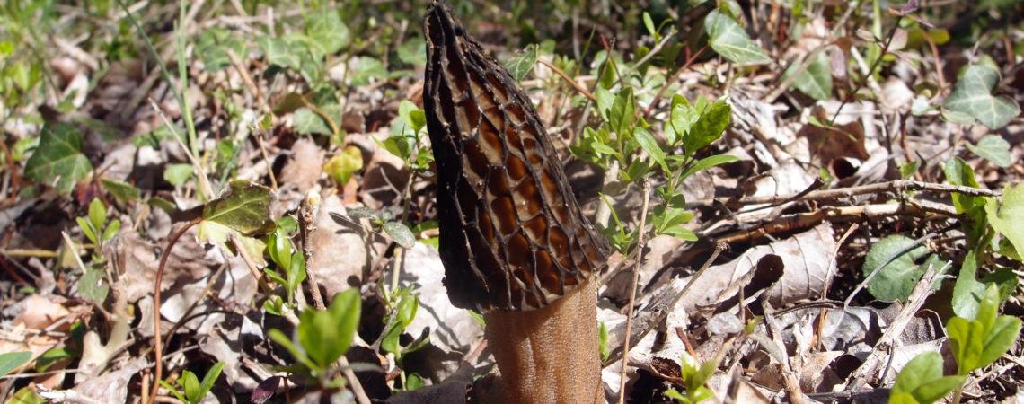 Morille conique en bord de rivière