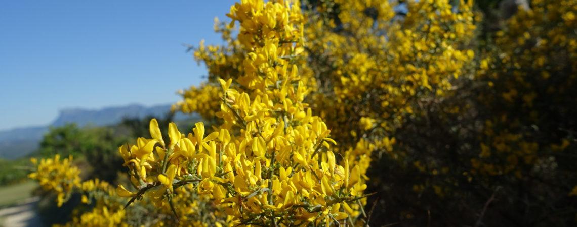 Ajonc florissant avec des fleurs jaunes