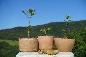 Chênes mycorhizés dans des pots en terre cuite