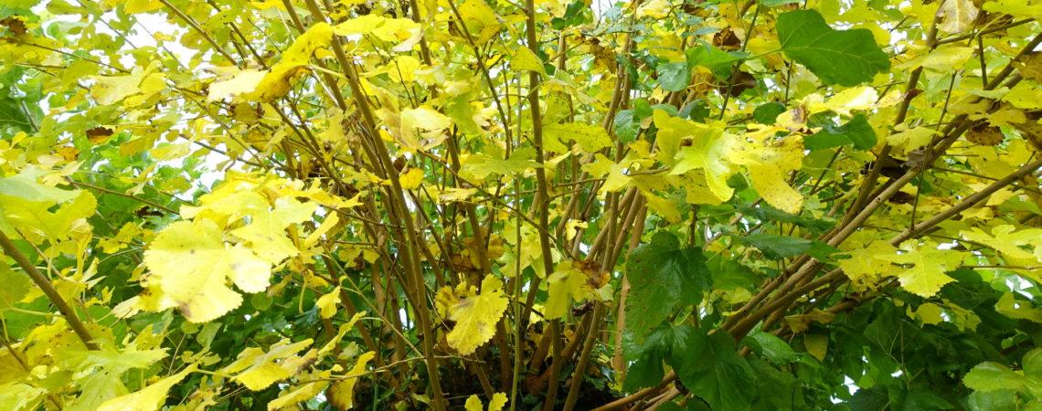 Mûrier avec des feuilles jaunes