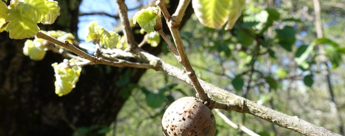 Galle de chêne sur l'arbre