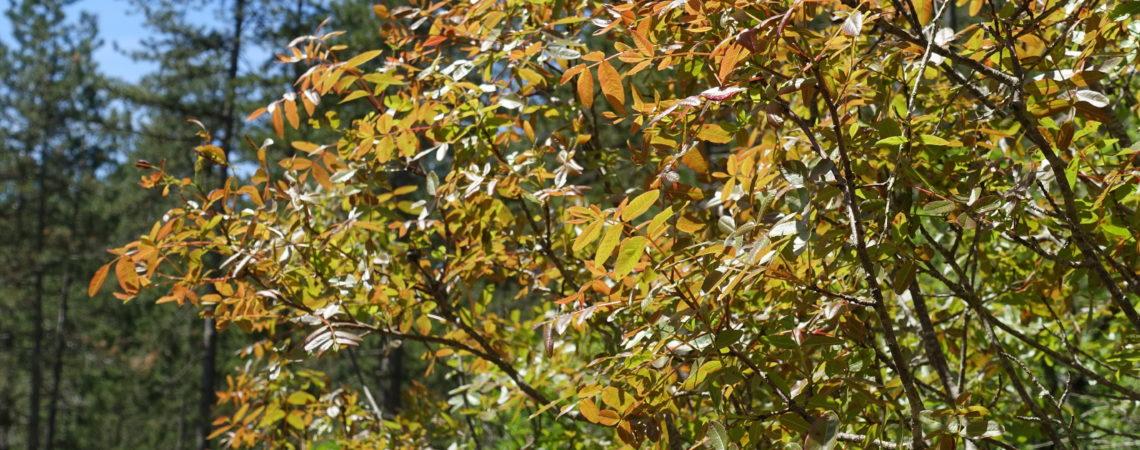 Sorbier sortant ses nouvelles feuilles