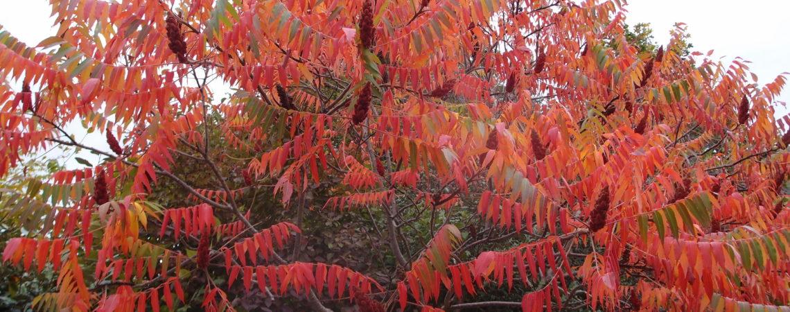 Sumac à l'automne avec des fruits et des feuilles rouges