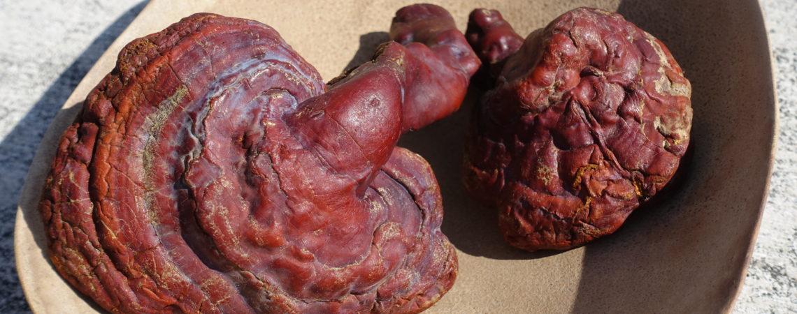 Ganoderme luisant ou champignon Reishi (Ganoderma lucidum)