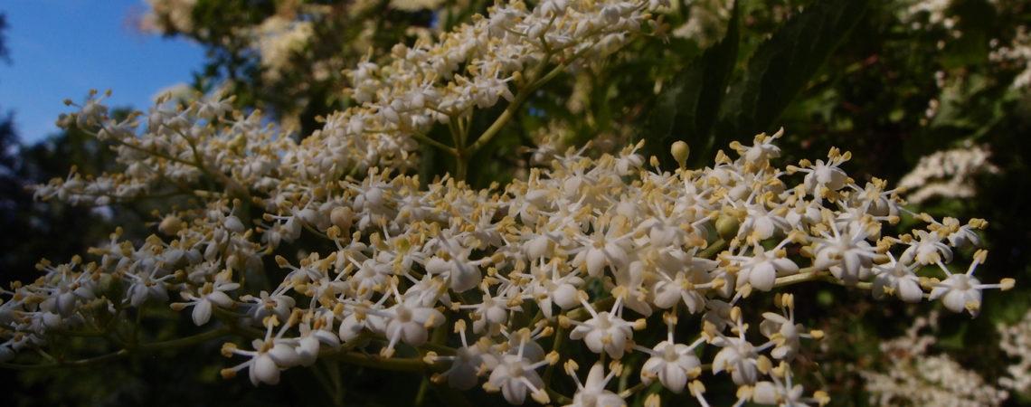Ombelles de fleurs de sureau