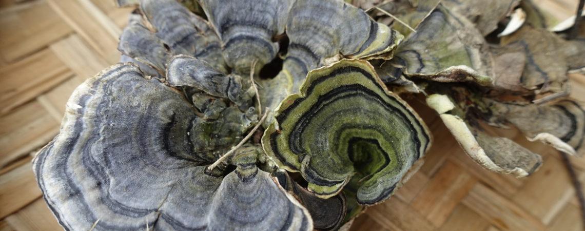 Polypore versicolore (Trametes versicolor)