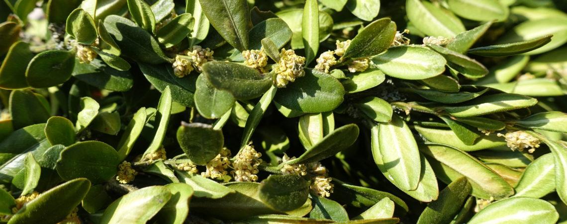 Rameaux de buis en fleur
