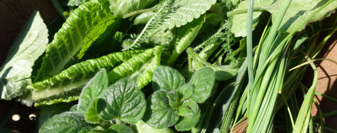 Feuilles pour une salade sauvage