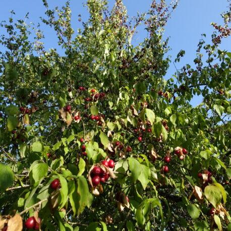 Cornouiller mâle en fruits